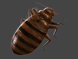 Bedbug, Artwork Premium Photographic Print by  SCIEPRO