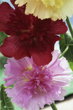 Hollyhocks Photographic Print by Archie Young