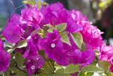 Bougainvillea Flowers Photographic Print by Dirk Wiersma