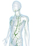 Lymphatic System, Artwork Premium Photographic Print by  SCIEPRO