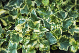 English Ivy (Hedera Helix 'Golden Child') Prints by Archie Young
