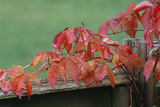 Virginia Creeper Photographic Print by Archie Young