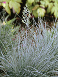Festuca Valesiaca 'Glaucantha' Photographic Print by Archie Young