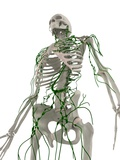 Lymphatic System, Artwork Photographic Print by  SCIEPRO