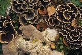 Bracket Fungus Reprodukcja zdjęcia autor Dirk Wiersma