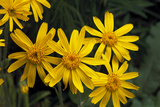 Arnica Montana Photographic Print by Archie Young