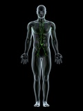 Lymphatic System, Artwork Posters by  SCIEPRO