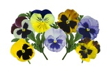 Pansy (Viola X Wittrockiana) Photographic Print by Archie Young