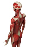 Male Muscles, Artwork Prints by  SCIEPRO