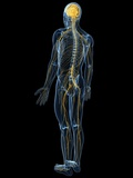 Human Nervous System, Artwork Premium Photographic Print by  SCIEPRO