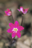 Hepatica (Hepatica Gyousia) Photographic Print by Archie Young