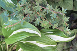 Hosta 'Undulata' Leaves Photographic Print by Archie Young