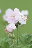 Geranium X Cantabriensis 'St. Ola' Photographic Print by Archie Young