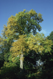 European Ash Tree (Fraxinus Excelsior) Photographic Print by Archie Young