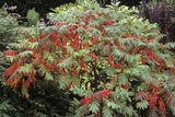 Stag's Horn Sumach (Rhus Typhina) Print by Archie Young