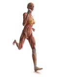 Female Muscles, Artwork Photographic Print by  SCIEPRO