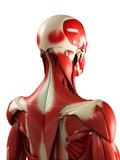Male Muscles, Artwork Posters by  SCIEPRO