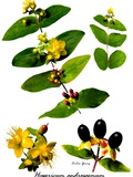 Tustan (Hypericum Androsaemum) Photographic Print by Archie Young