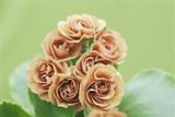 Primula Auricula 'Trouble' Photographic Print by Archie Young