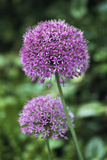 Ornamental Onion (Allium Aflatunense) Photographic Print by Archie Young