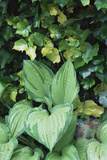 Hosta 'Fortunei Albopicta' Leaves Photographic Print by Archie Young