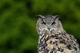 European Eagle Owl Photographic Print by Linda Wright