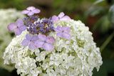 Mixed Hydrangea Flowers Photographic Print by Archie Young