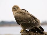 Juvenile Tawny Eagle Photographic Print by Linda Wright