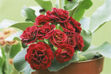 Primula Auricula 'Crimson Glow' Photographic Print by Archie Young
