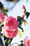 Camellia X Williamsii 'Donation' Photographic Print by Archie Young