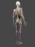 Human Anatomy, Artwork Photographic Print by  SCIEPRO