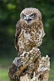 Southern Boobook Owl Photographic Print by Linda Wright