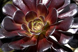 Dark Red Aeonium Photographic Print by Mark Williamson