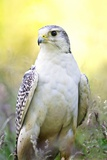 Gyrfalcon Photographic Print by Linda Wright