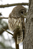 Barred Owl Fotoprint van Linda Wright