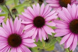 Pink Coneflowers (Echinacea) Photographic Print by Mark Williamson