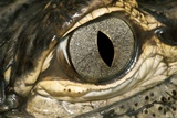American Alligator Eye Poster by Linda Wright