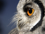 White-faced Scops Owl Eye Premium Photographic Print by Linda Wright