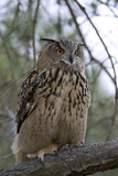 European Eagle Owl Fotoprint van Linda Wright