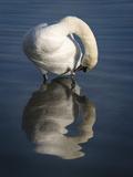 Mute Swan Preening Prints by Linda Wright
