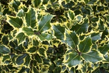 Variegated Ivy. Photographic Print by Mark Williamson