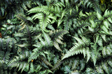 Japanese Painted Fern Prints by Archie Young