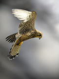 Common Kestrel Hunting Photographic Print by Linda Wright