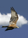 Black Kite In Flight Photographic Print by Linda Wright