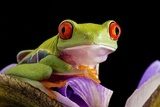 Red-eyed Tree Frog Prints by Linda Wright
