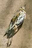 Dead Song Thrush Print by Mark Williamson