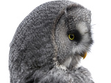 Great Gray Owl Photographic Print by Linda Wright