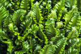 Hart's Tongue Fern Prints by Archie Young