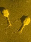 TEM T4 Bacteriophage Premium Photographic Print by M. Wurtz