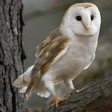 Barn Owl Fotoprint van Linda Wright